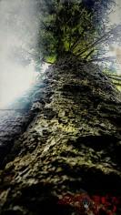 Terrifying Tall Tree (OR)